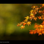 SONY DSLR-A900で撮影した風景(2011 紅葉 )の写真(画像)