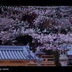 SONY DSLR-A900で撮影した風景(お寺 x 桜。 < I >)の写真(画像)