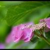 2012紫陽花 17