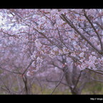 SONY DSLR-A900で撮影した風景(桜な日々。。。)の写真(画像)