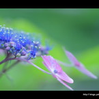 SONY DSLR-A900で撮影した植物(紫陽花。)の写真(画像)