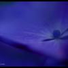 2012紫陽花 13