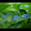 2013紫陽花  #04