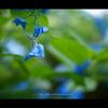 2013紫陽花  #05