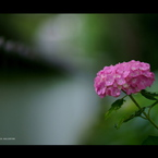 SONY DSLR-A900で撮影した植物(2012紫陽花 12)の写真(画像)