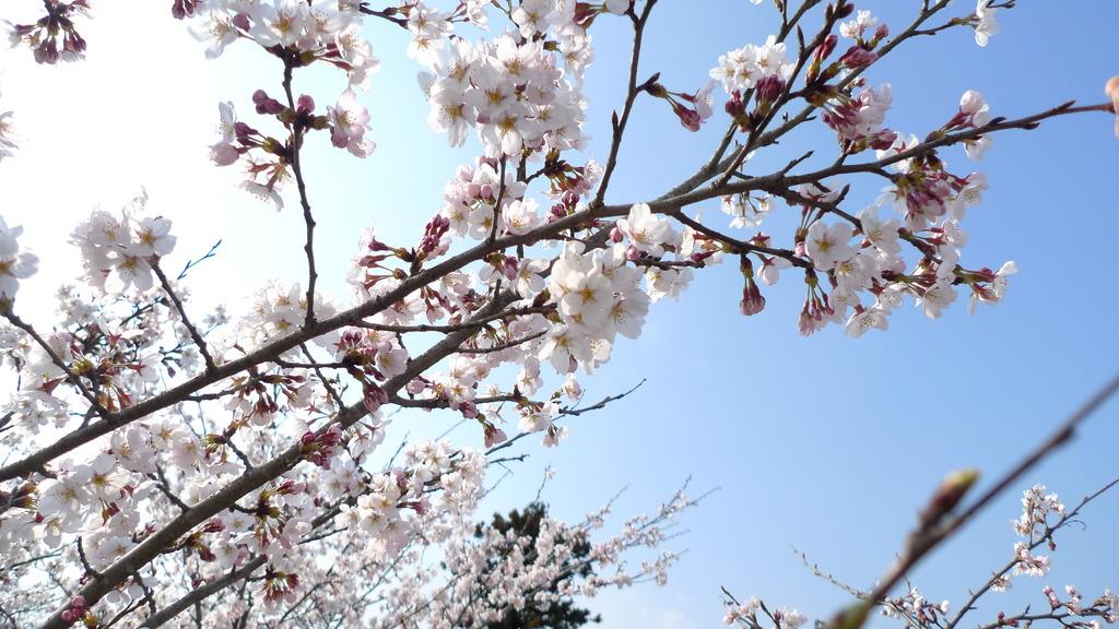 尾関山の桜2009