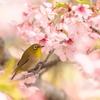 桜の中のメジロ