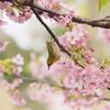 桜とメジロの世界