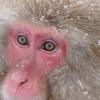 ニホンザルの瞳