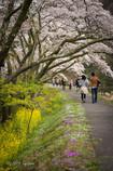桜道を散歩する人々