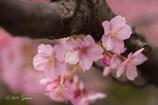 クローズアップ桜1