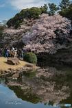 桜に見入る方々