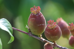 蝋梅の実1