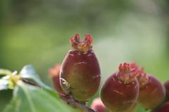 蝋梅の実2