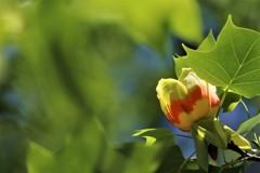 ユリノキの花(1)