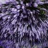 Purple RainⅡ