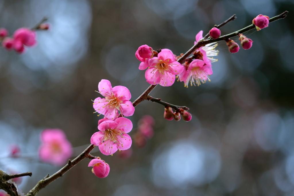 梅は百花の魁