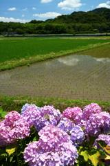 あぜ道より、紫陽花。