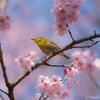 桜 & メジロ