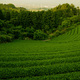 断崖絶壁のお茶畑