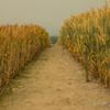 麦畑の中で…