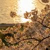 夕陽に映える桜