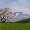 一本桜と岩手山