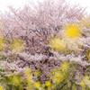 菜の花越しの桜