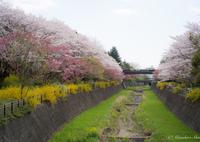 SONY ILCE-7RM2で撮影した(桜並木)の写真(画像)