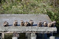 堺「いたすけ古墳」の野生狸たち