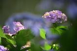 梅雨の花2
