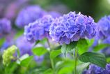 性海寺紫陽花2
