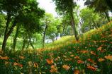ユリ咲く丘