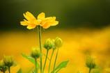 夏色の花 ルドベキア