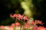 初秋に咲く 彼岸花