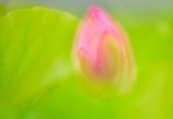 開花を待つ