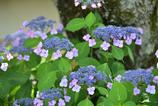 性海寺紫陽花6