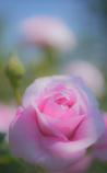 薔薇を貴女に