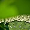 雨後の蓮葉
