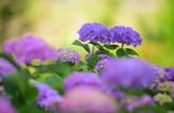 梅雨の花1