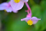 秋の花 シュウカイドウ
