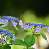 性海寺紫陽花1