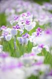 初夏に咲く