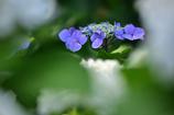 性海寺紫陽花4