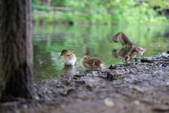 子ガモの水遊び