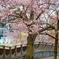 河畔に桜あり