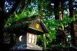 苔生す菊の石灯籠