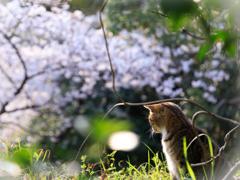 お花見ニャンコ