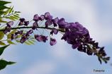 夏に咲く藤