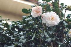 綺麗に咲いたら。